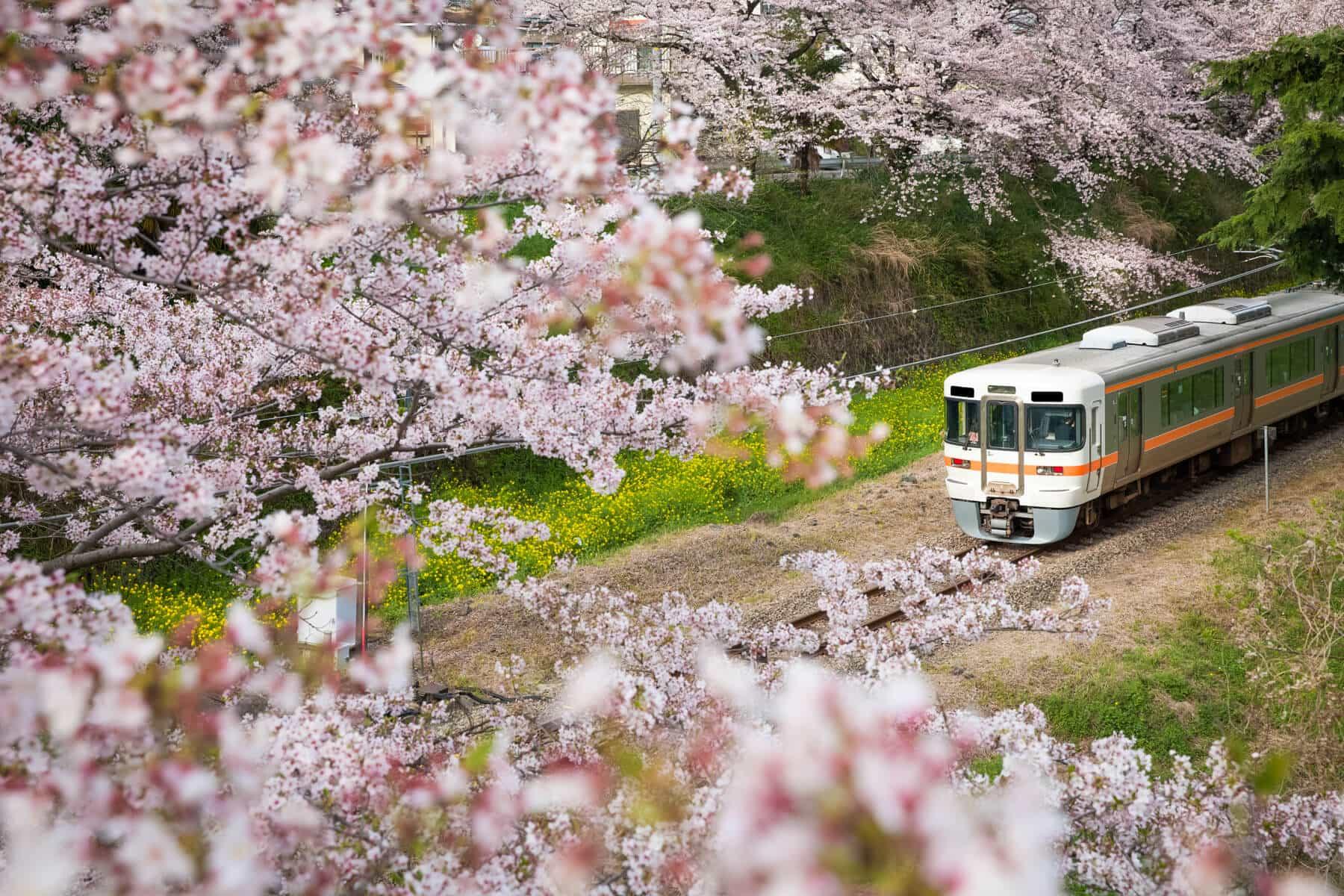 什么时间去日本看樱花